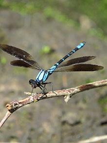 Diphlebia-coerulescens-9598