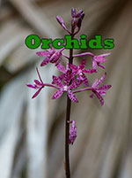orchid-sm-15062
